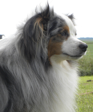 Dakota Toy Aussies - Reid's Lone Star Cinch a Blue Merle male Toy Aussie.